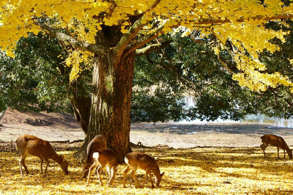 大仏池の銀杏の樹 鹿と銀杏の樹を撮ろうとたくさんの方がここから撮影されていました。