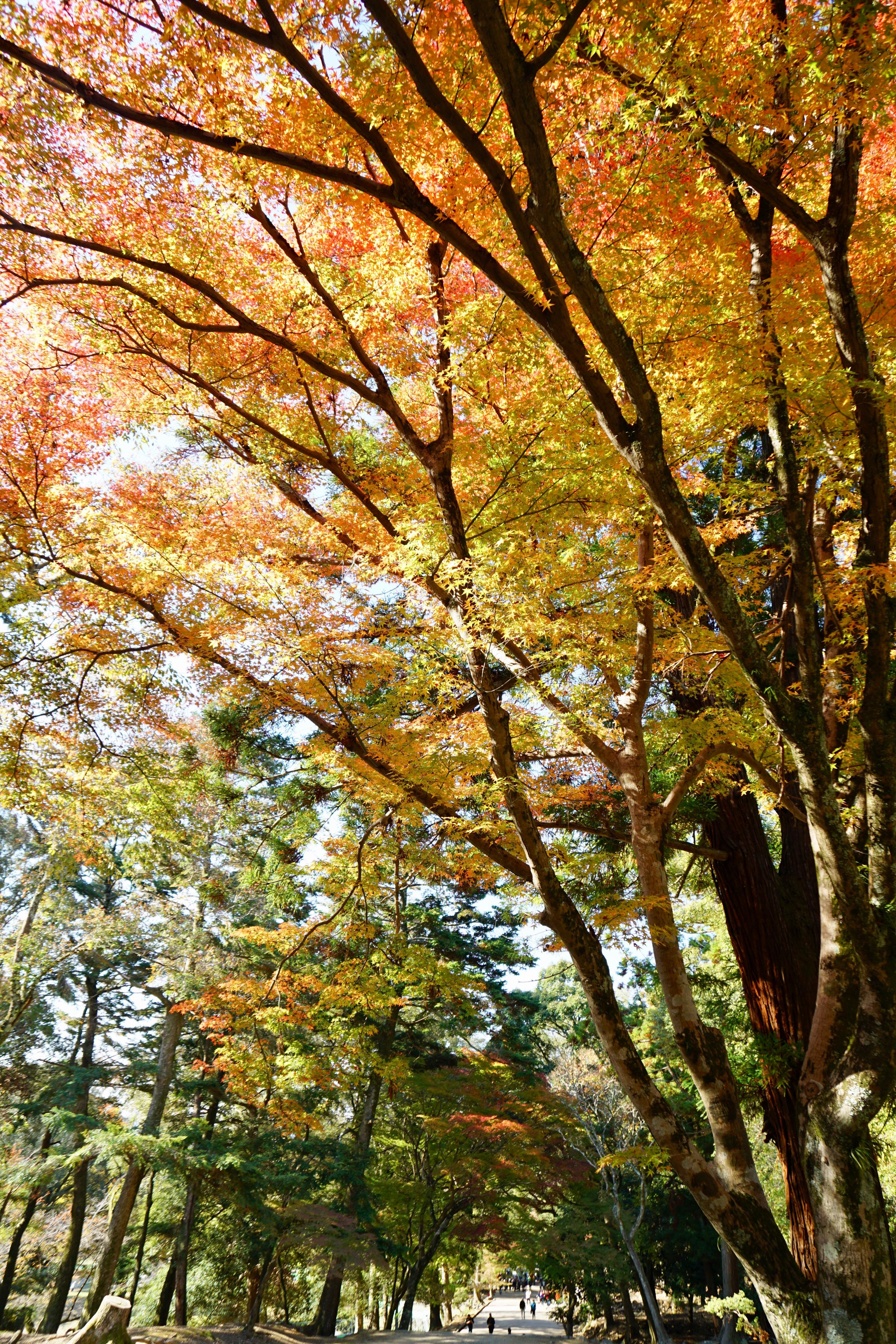 紅葉が素晴らしいので有名です。紅葉は来週くらいが一番いいと思います。