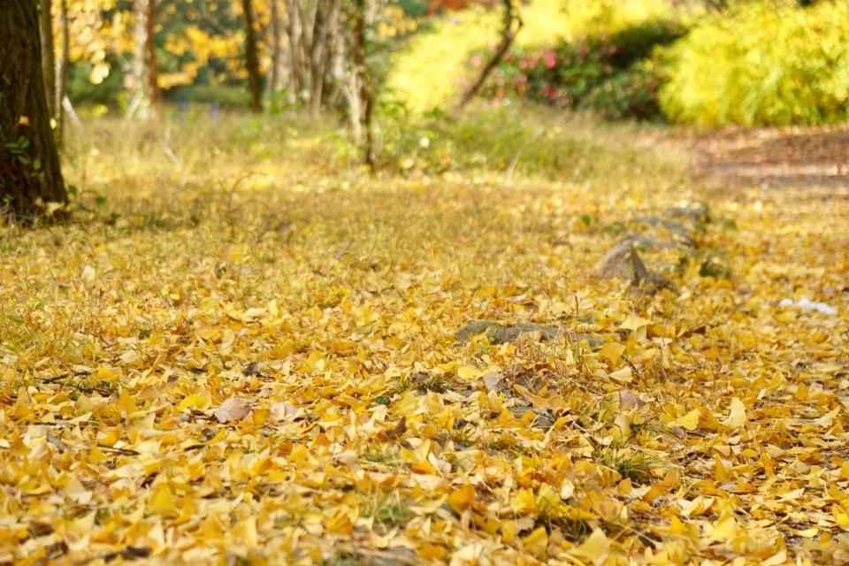 銀杏の絨毯。