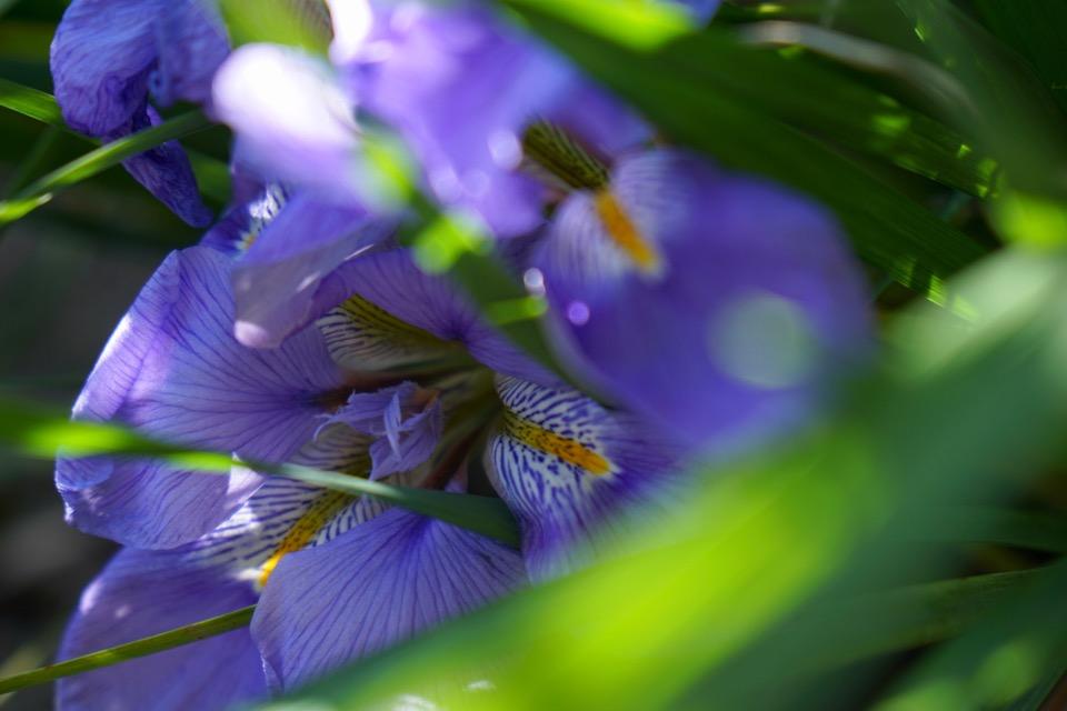 カンザキアヤメ 冬に咲くと華やかですね。