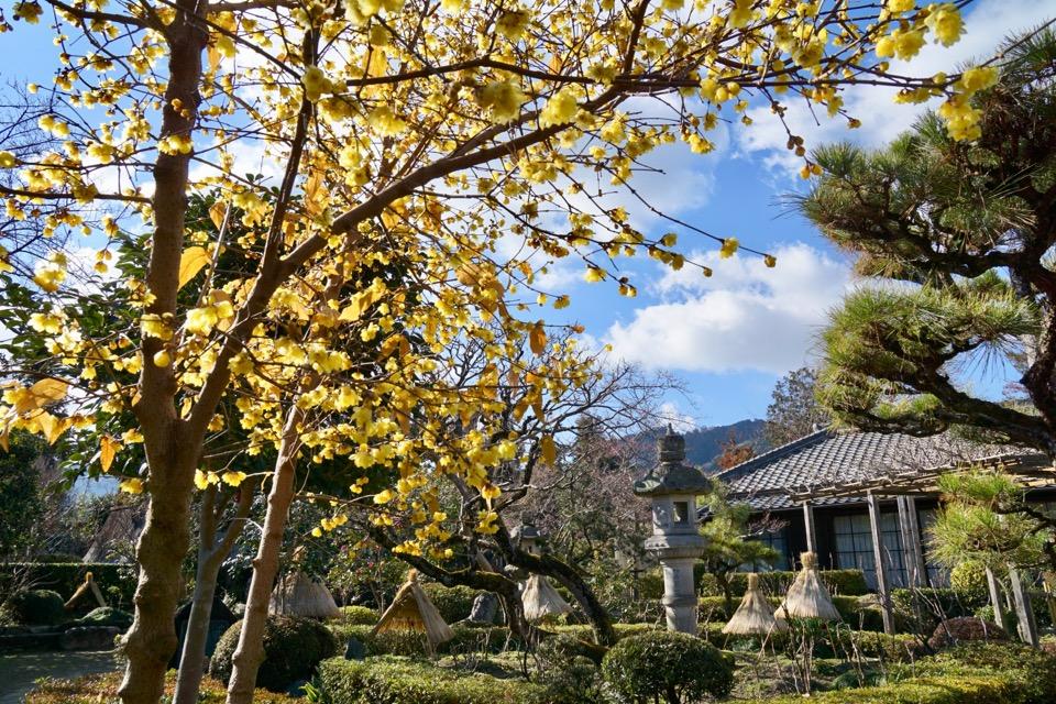 今年は暖かい日が多いのでもう蝋梅も満開です。