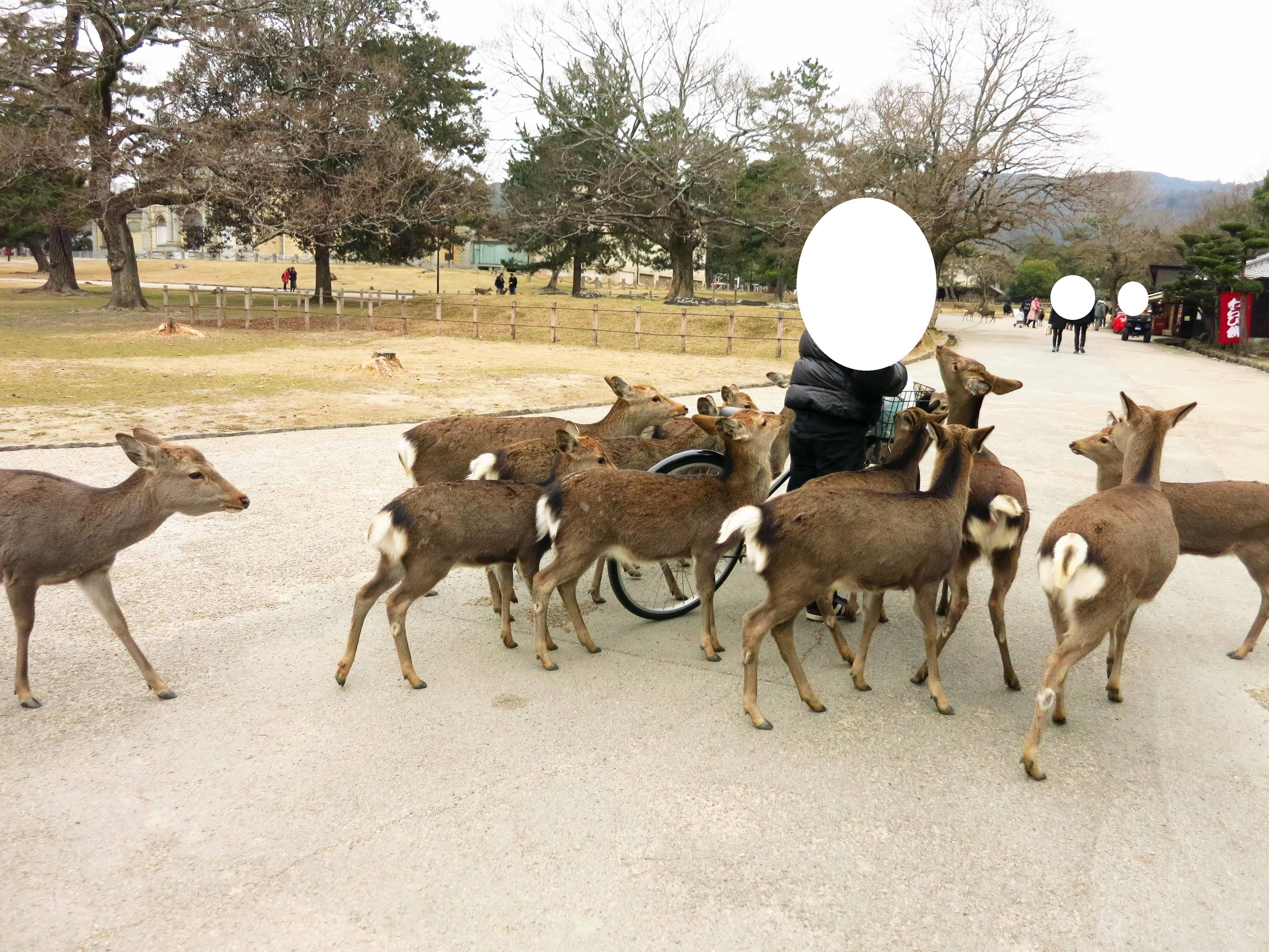 途中奈良公園では、鹿さんにたくさん出会いました。こちらは、どんぐりをくれるおじさんに集結する鹿たち。