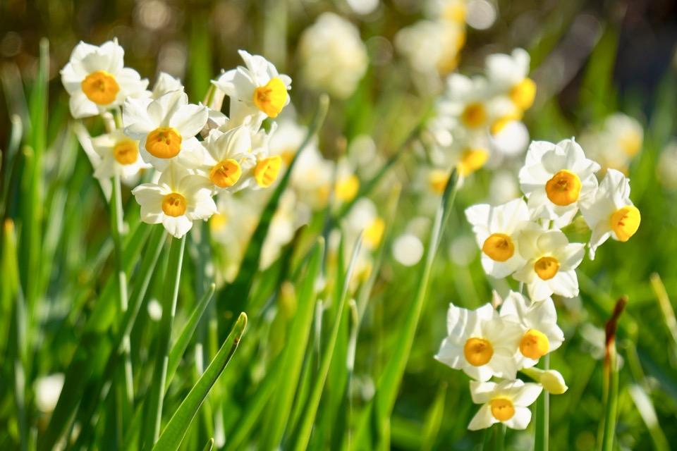 般若寺には2種類の水仙が咲いています。これはニホンスイセンです。