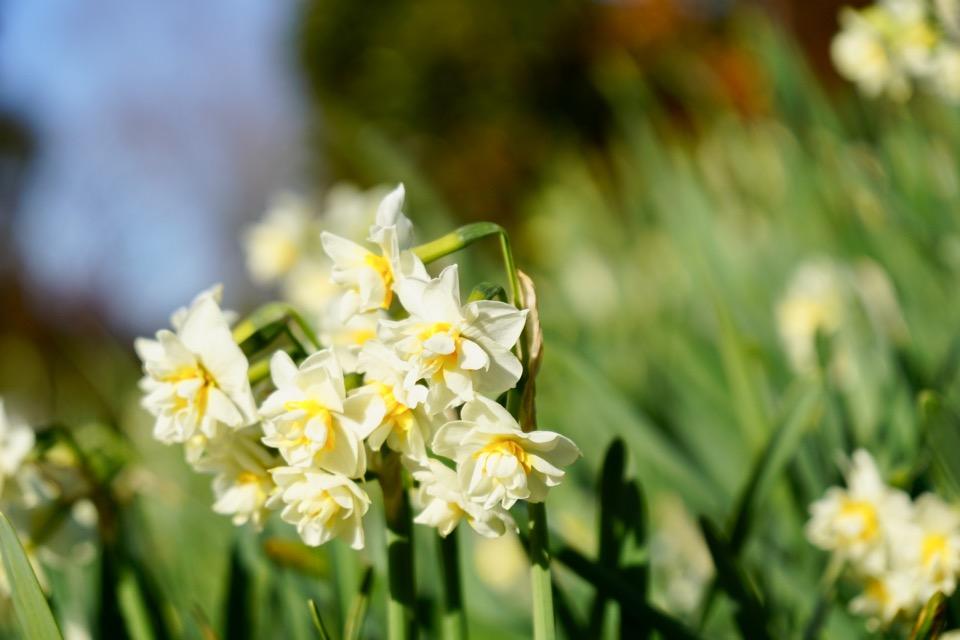 こちらはチャフルネス。八重の水仙です。とても芳香が強く良い香りが漂います。