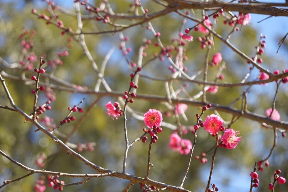 片岡梅林では梅が咲き始めました。