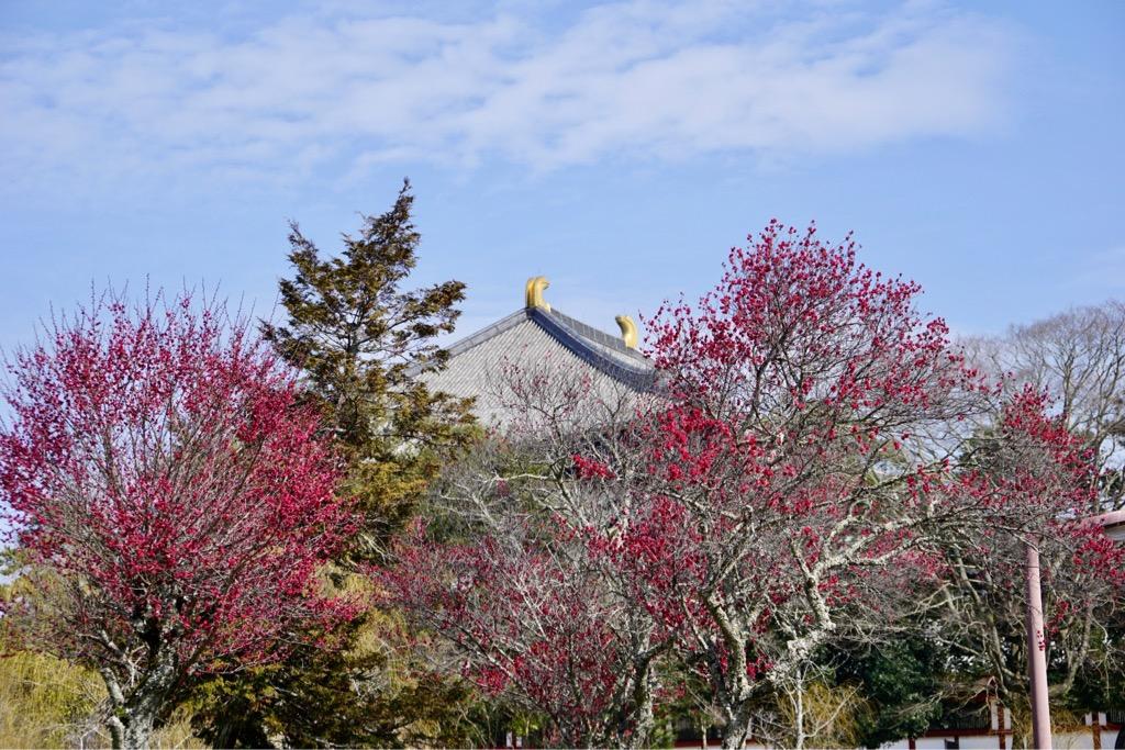 東大寺の周辺では梅の花が見ごろを迎えています。