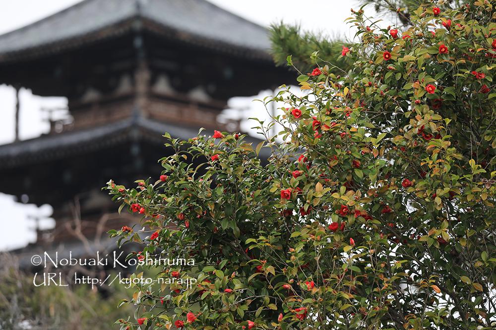 椿と日本最古の五重塔(国宝)。