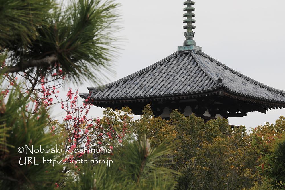 秋のコスモスで有名なお寺・法起寺と梅の花。