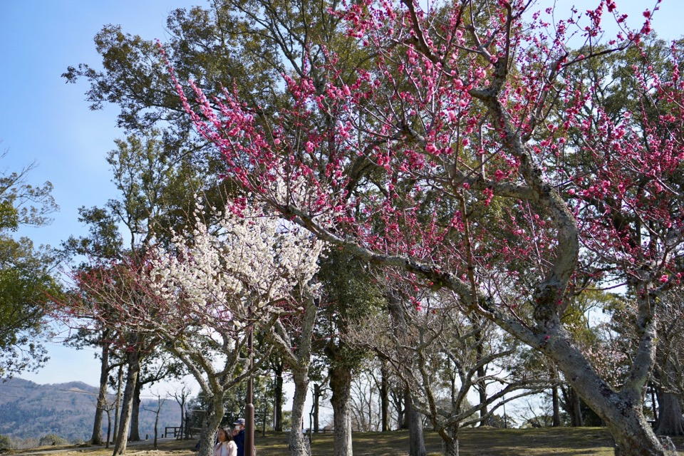 奈良公園の片岡梅林に行ってきました。満開でした!