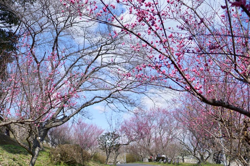 大和民族公園の梅林。満開で素晴らしかったです。