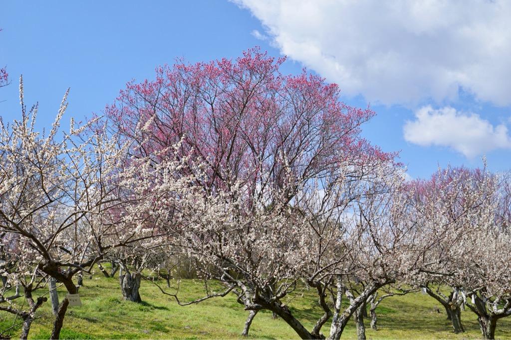 ひときわ大きい梅の木。斜面に立っているのでどこから見ても綺麗です。