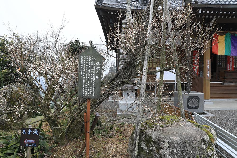 境内にある姫若の梅。後醍醐天皇が笠置山落城の際、女官の姫若が村人に助けられお礼に植えられたもの。。