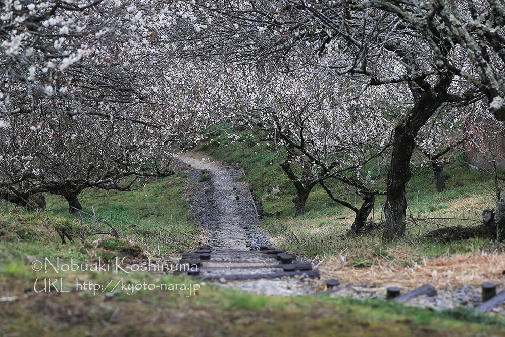 梅のトンネル。