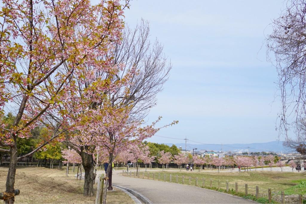 河津桜が満開です。