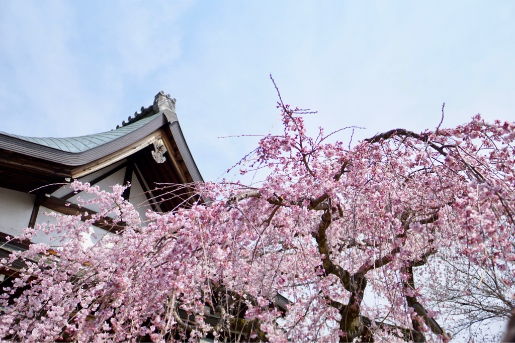 氷室神社 しだれ桜が満開です。