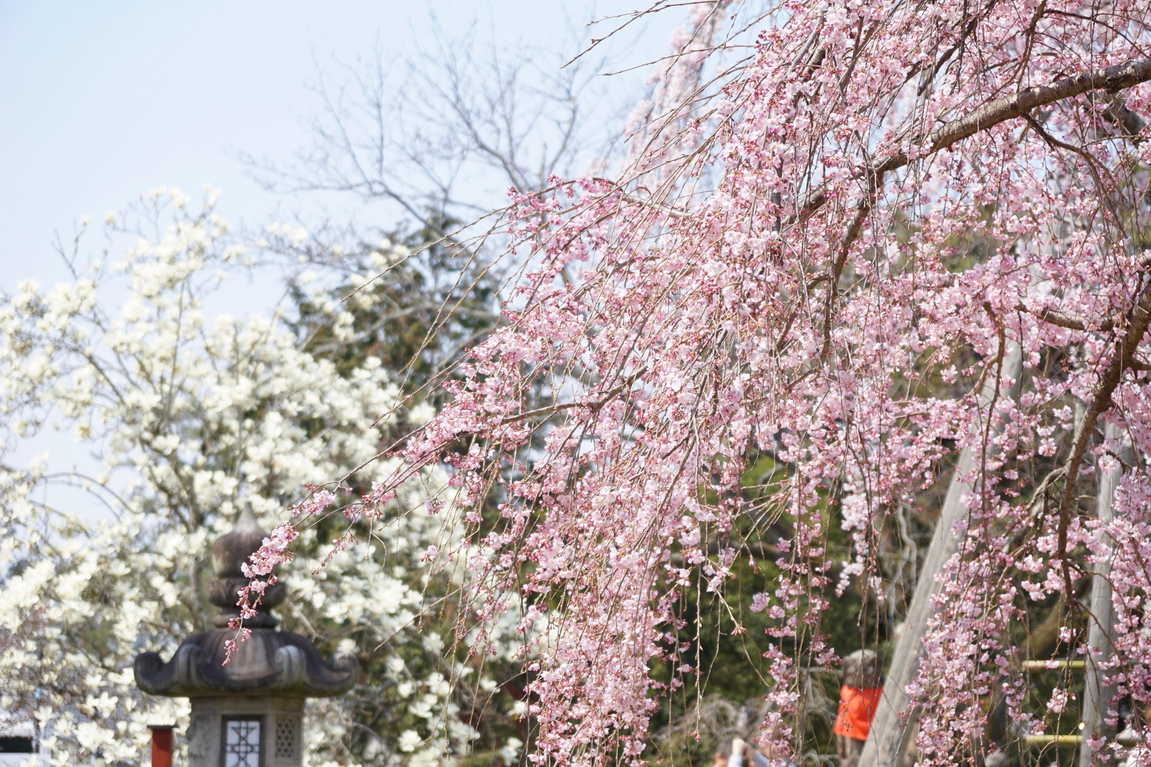 ハクモクレンとしだれ桜がとても綺麗でした。
