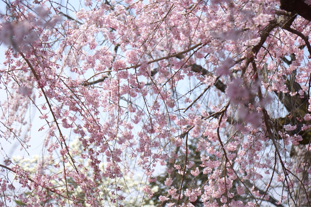枝が痛んでで花は年々少なくなって来ましたがまだまだ華やかでした。
