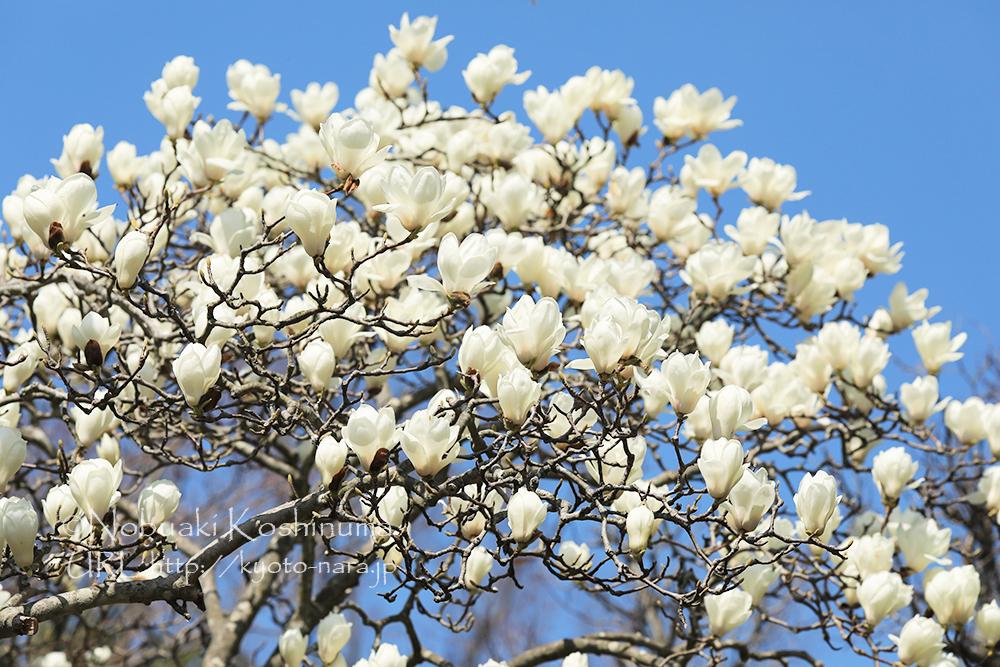 ハクモクレンの花も見頃を迎えていました。