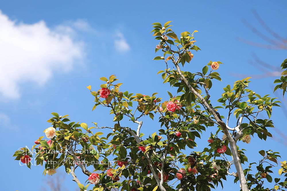 青空に天然記念物の五色椿が輝きます。