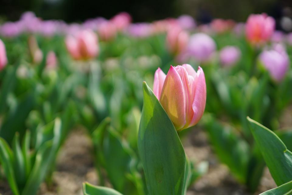 チューリップも咲き始めています。