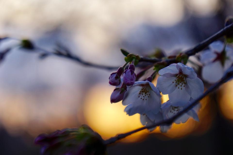 昼の桜もいいですが夜桜も素敵ですね。