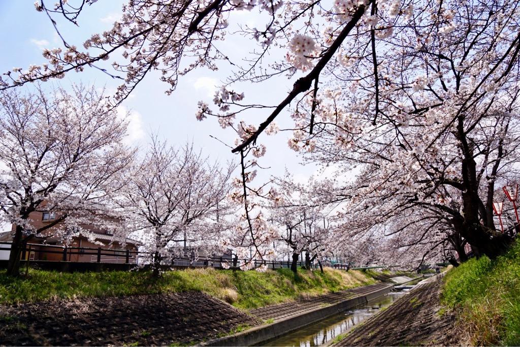 川沿いに約2.5km桜並木が続きます。