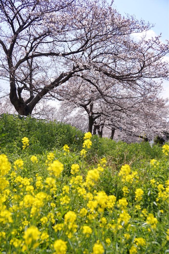 樹齢70年の桜は立派で見応えがあります。