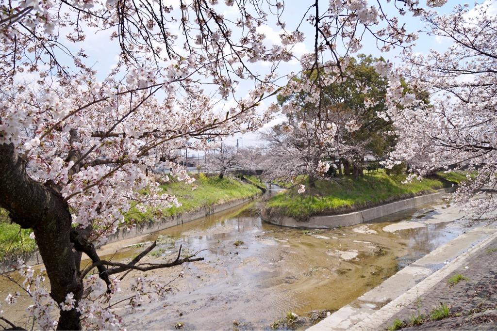 高田川が2つに分かれて行くのですが、その先もずっと両側に桜並木が続きます。
