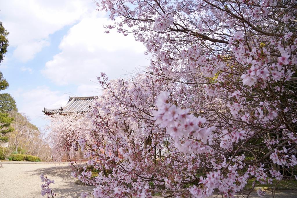 大きな桜の木がいっぱいで迫力ありました。