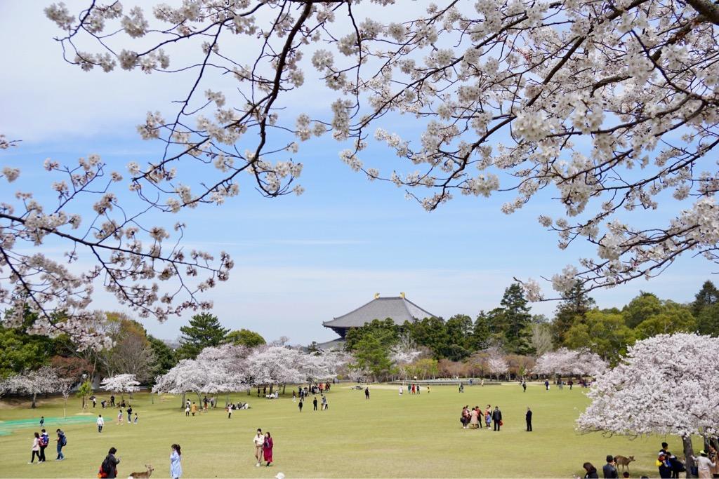 奈良公園の桜を見に行って来ました。