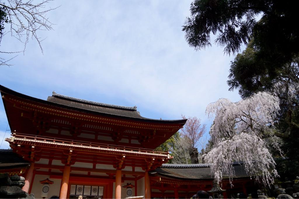 春日大社へ。朱色に映える素晴らしい桜です。