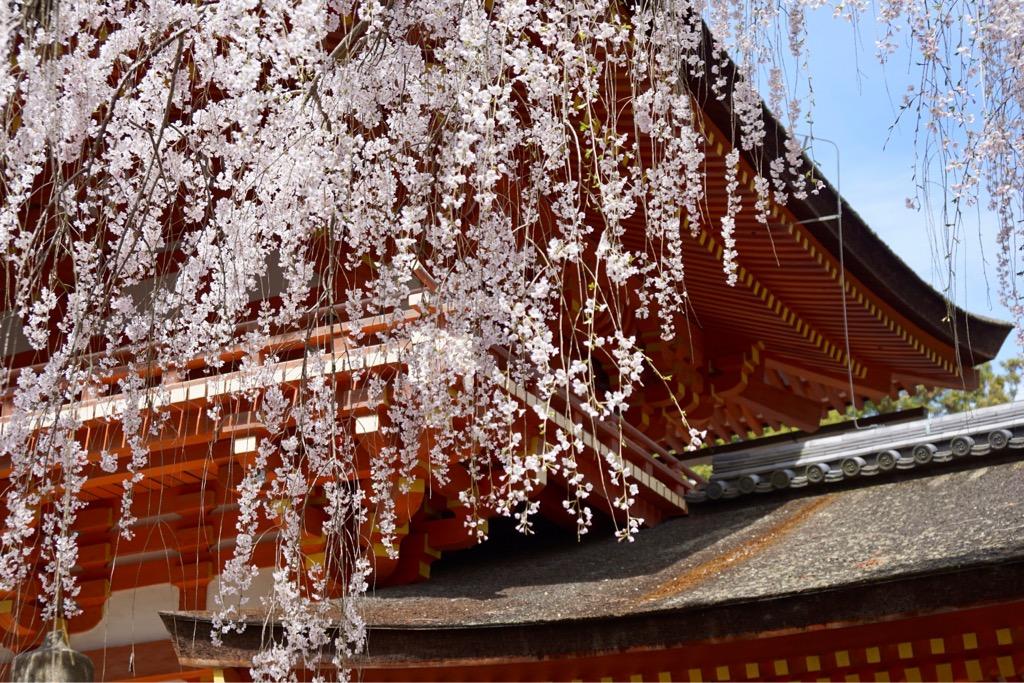 藤の花が有名ですが、桜も素晴らしいです。