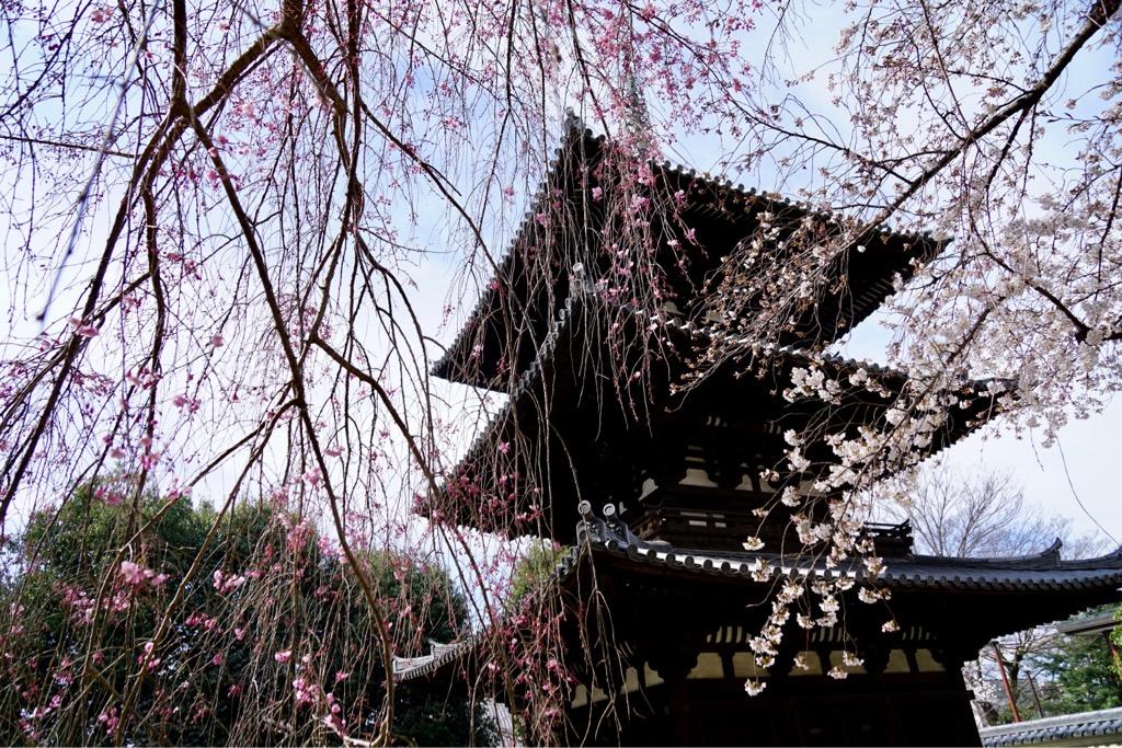 興福寺三重塔 しだれ桜はまだまだこれからです。