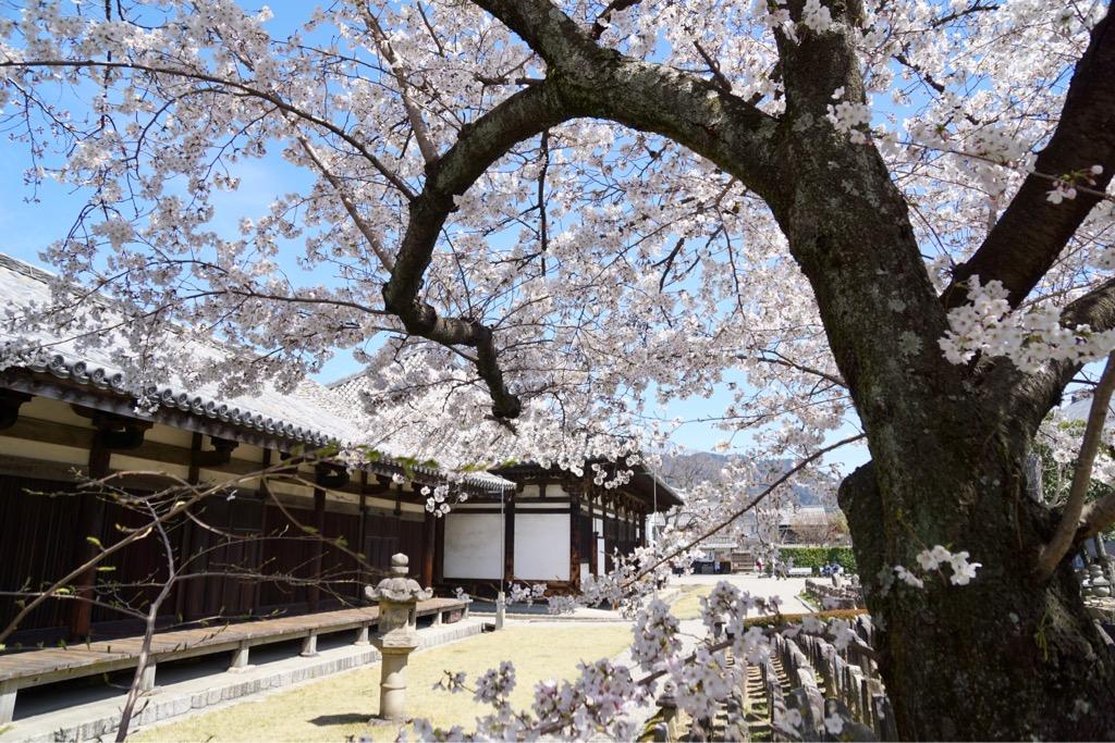 こちらも萩が有名ですが、桜も素晴らしいです。