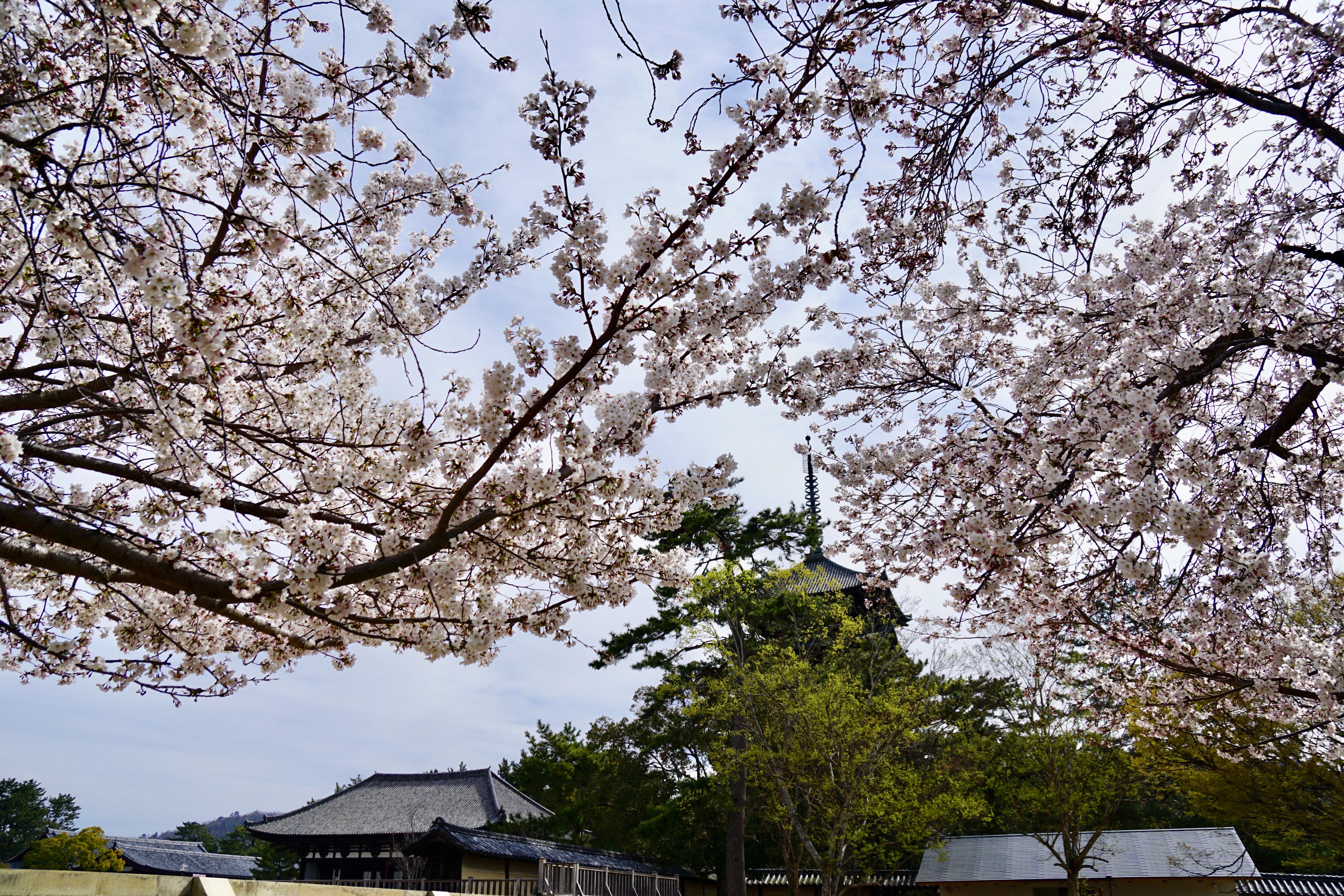 興福寺五重塔と金堂