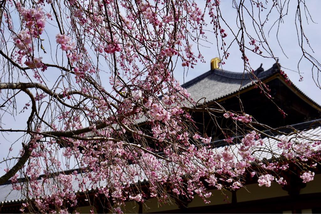 東大寺の周りは桜がいっぱいです。