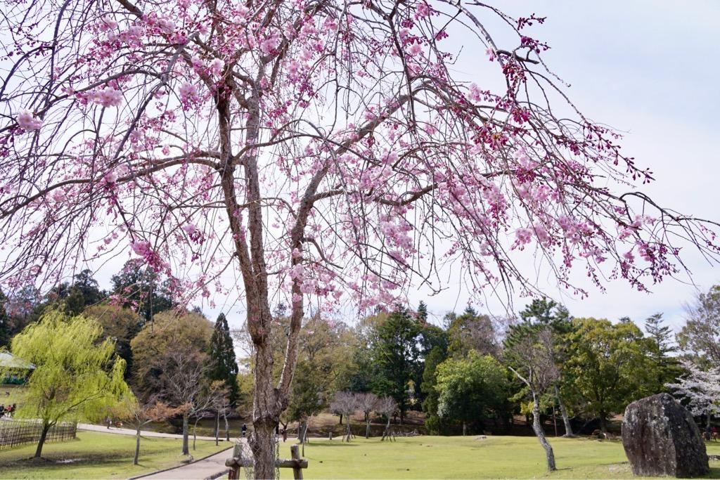 濃いピンクの桜は華やかで写真映えもいいですね。