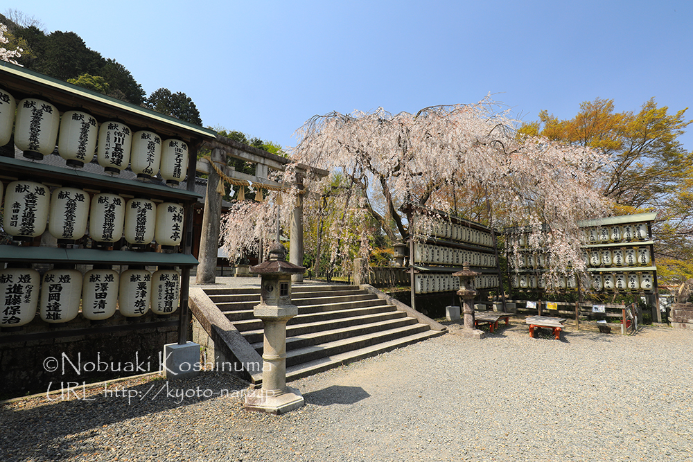 大石神社の「大石桜」