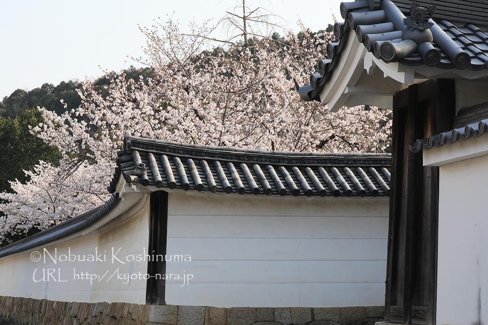 門の付近に咲く桜。