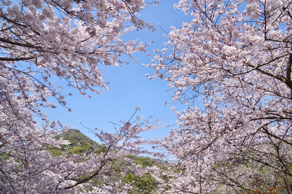 周辺にも桜がいっぱいです。