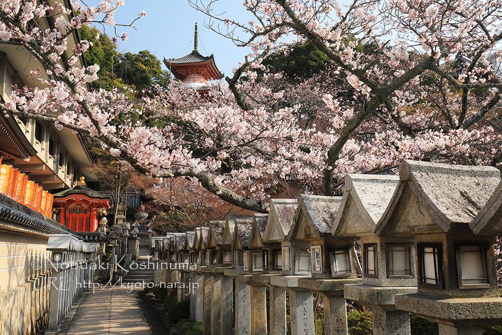 境内の桜も満開でした。