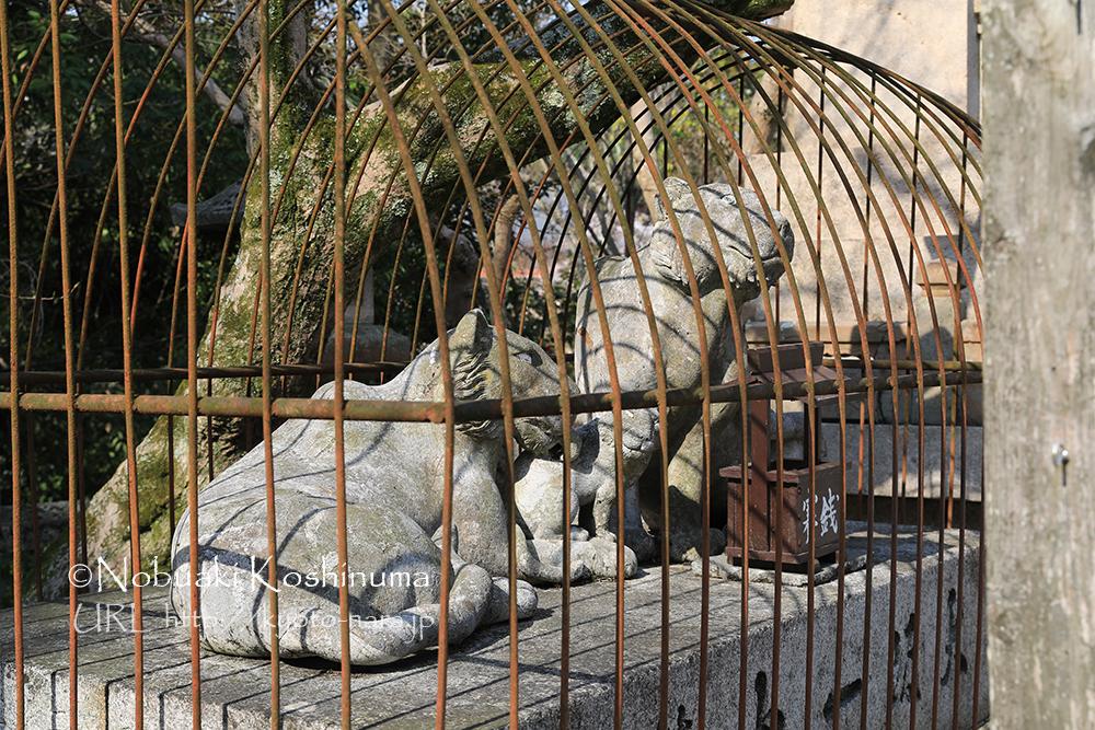 檻に入れられたトラ。