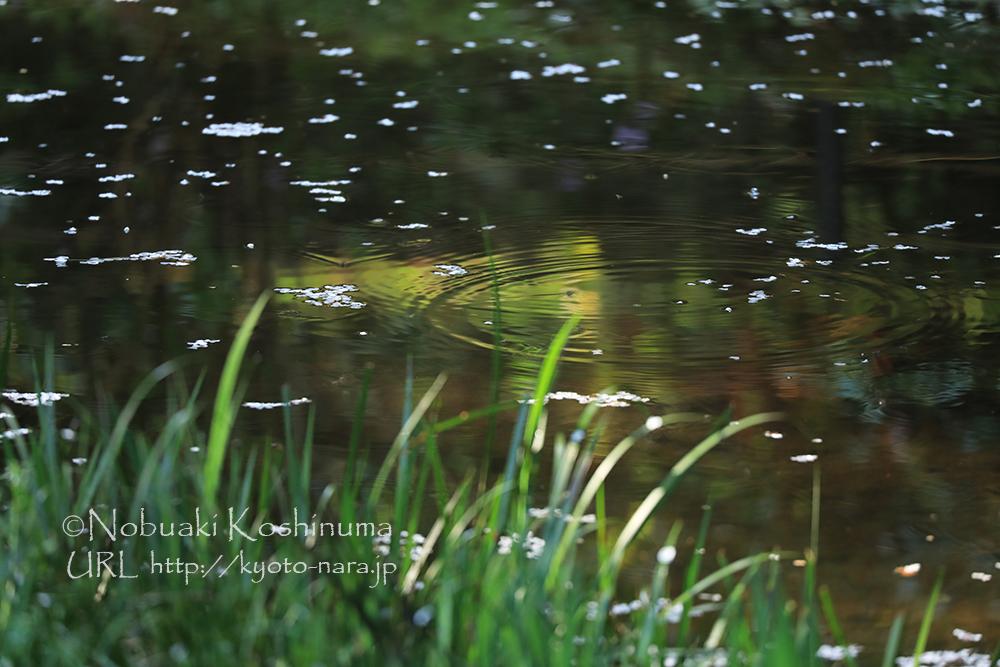 早朝に降った雨露が水紋を描きます。