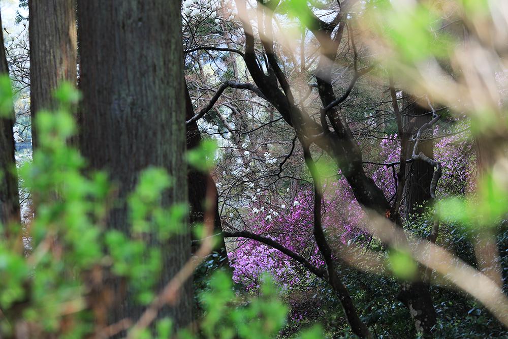 アジサイの新芽と樹木の奥に見えるミツバツツジとモクレン。