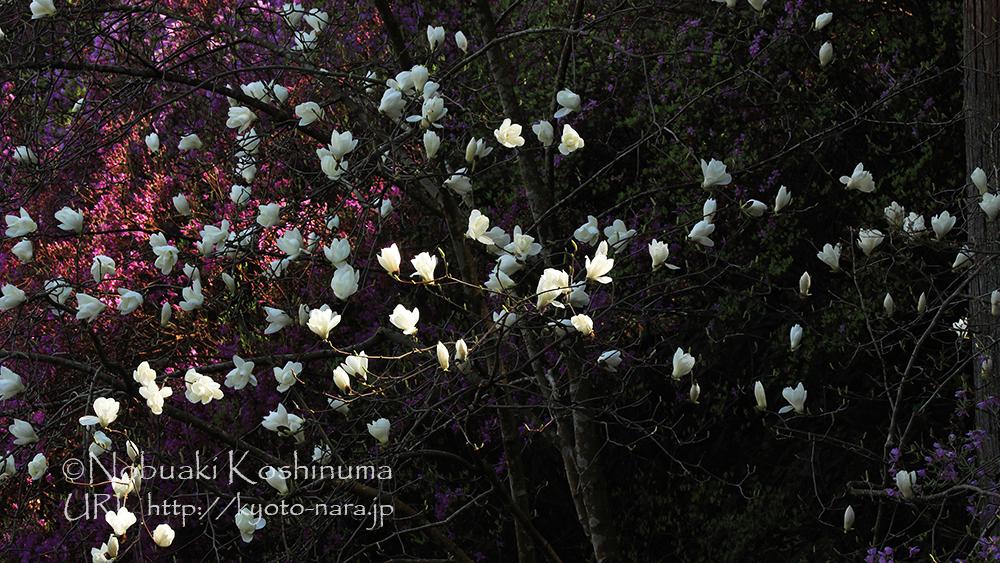 木漏れ日に輝くモクレンの花。