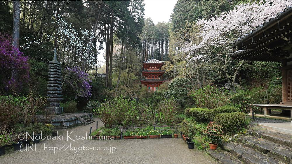 岩船寺の本堂前。ヤマザクラ、モクレン、ミツバツツジが一斉に咲く境内は見事でした。