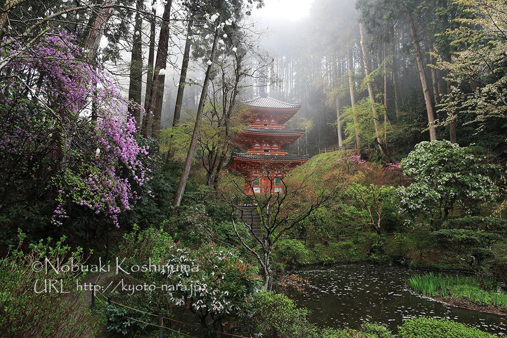 霧に包まれた三重塔。左手の薄紫の花はミツバツツジ。