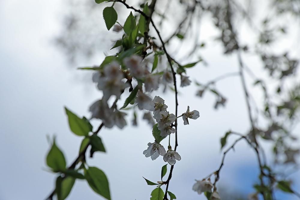 飲食が可能な休憩所のある境内左手奥には桜の花が満開でした。