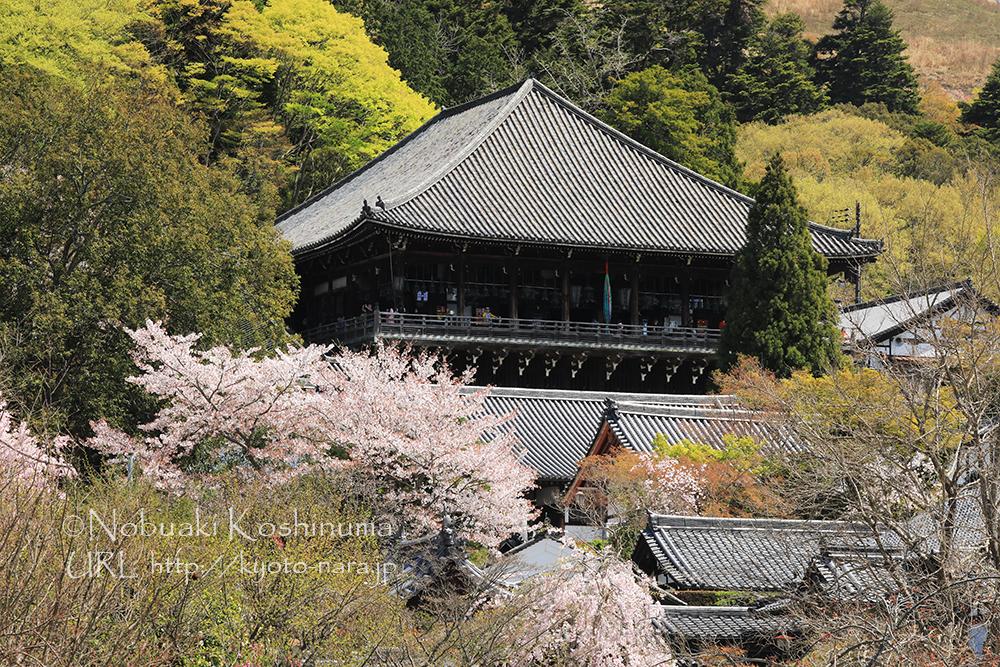 東大寺・二月堂周辺の桜も満開です。