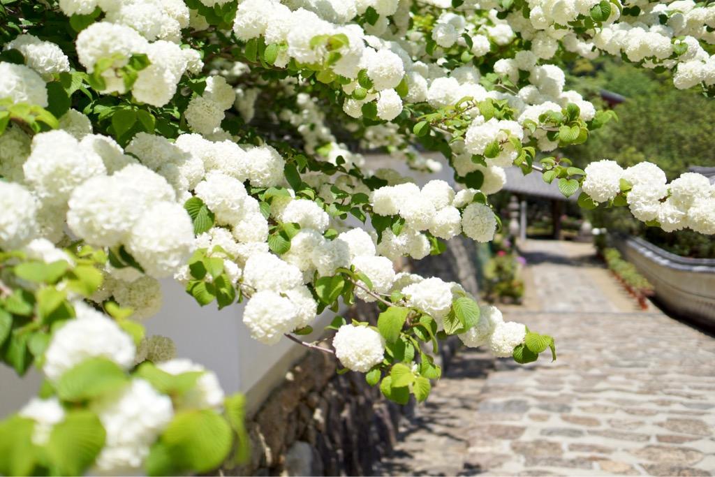 この道が一番好きです。コデマリが咲き誇っていてとても綺麗です。